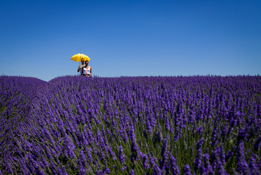 Couple holding yellow umbrella in lavender field on a Summer day in Hitchin lavender farm Hertfordshire for first wedding anniversary